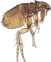 the cat flea